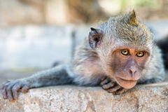 Artful monkey ready to grab. Artful monkey looking in the camera and is ready to grab, crab-eating macaque or the long-tailed macaque (Macaca fascicularis), Bali royalty free stock images