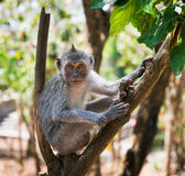 Artful monkey sitting on the tree Stock Images