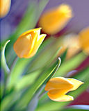 Artful Tulips. Abstract image of yellow tulips and stems in Springtime Stock Photo