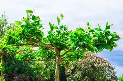 Artfully formad platan Royaltyfria Bilder
