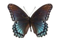 arthemis astyanax limenitis 库存照片