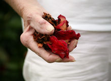 Arthritic hand holding rose petals Royalty Free Stock Images