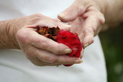 Arthritic hand holding rose petals. Living with pain series. Senior woman with severe rhuematoid arthritis holding rose petals royalty free stock photography