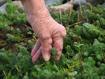 Arthritic hands gardening. Senior woman with rheumatoid arthritis pulling weeds out in the garden Royalty Free Stock Photo