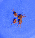 Arthropod mites on a blue background. Close up macro Red velvet. Close up macro Red velvet mite or Trombidiidae. Arthropod mites on a blue background royalty free stock photos