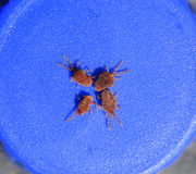 Arthropod mites on a blue background. Close up macro Red velvet. Close up macro Red velvet mite or Trombidiidae. Arthropod mites on a blue background royalty free stock photography