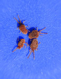 Arthropod mites on a blue background. Close up macro Red velvet. Close up macro Red velvet mite or Trombidiidae. Arthropod mites on a blue background stock photo