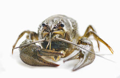 Arthropods crustaceans cancer Royalty Free Stock Photos