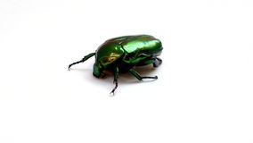 Arthropods, insect scarab gold bronzova closeup Stock Images