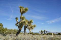 Arthur B. Ripley Desert Woodland State Park. Joshua tree at Arthur B. Ripley Desert Woodland State Park Stock Images