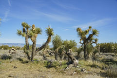 Arthur B. Ripley Desert Woodland State Park. Joshua tree at Arthur B. Ripley Desert Woodland State Park royalty free stock images