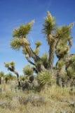 Arthur B. Ripley Desert Woodland State Park. Joshua tree at Arthur B. Ripley Desert Woodland State Park Stock Photo