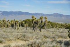 Arthur B. Ripley Desert Woodland State Park. Joshua tree at Arthur B. Ripley Desert Woodland State Park Royalty Free Stock Photography