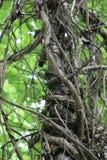 Arti di albero della natura impigliati Fotografia Stock Libera da Diritti