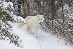 Artic волк в снеге стоковое изображение
