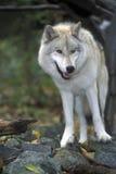 artic представляя волк Стоковые Изображения