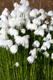 Artic cotton flowers. In Iceland Stock Photo