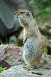 Artic Eekhoorn van de Grond Royalty-vrije Stock Foto