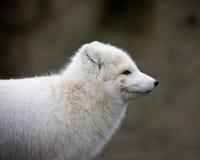 Artic fox. With his winter coat Stock Photos