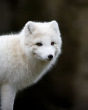 Artic fox. With his winter coat Royalty Free Stock Photography