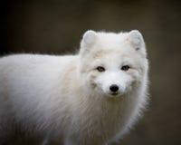 Artic fox. With his winter coat Stock Image