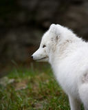 Artic fox. With his winter coat Royalty Free Stock Images