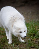 Artic fox. With his winter coat Royalty Free Stock Photo
