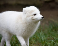 Artic fox. With his winter coat Stock Images