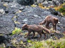 Artic fox Stock Photography
