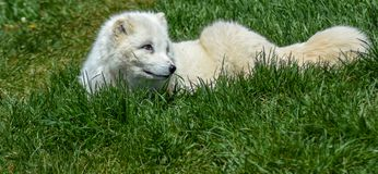 Artic fox laying down. Artic fox enjoying the beautiful spring weather royalty free stock images
