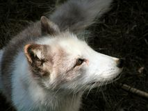 Artic Fox pup 3. An arctic fox in a nature park Royalty Free Stock Photo