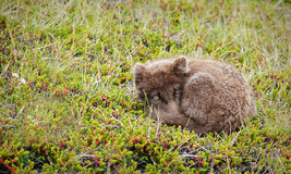 Artic fox. Sleeping in the grass stock images