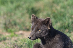 Artic fox , Western fjords, Iceland Stock Photo