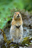 Artic Ground Squirrel Stock Photo