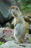 Artic Ground Squirrel. Spermophilus parryii royalty free stock photo