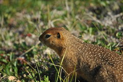 Artic Ground Squirrel Royalty Free Stock Image