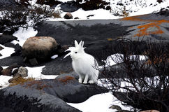 Artic Hare stock photos