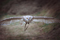 Artic horned owl flying Stock Photography