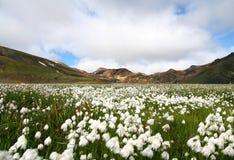 Artic katoen en gekleurde bergen Stock Foto's