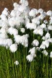 Artic katoenen bloemen Stock Foto