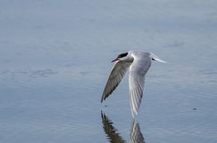 Artic tern Royalty Free Stock Image