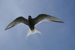 Artic Tern Royalty Free Stock Photography