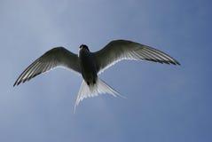 Artic Tern Стоковая Фотография RF