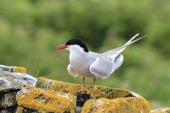 Artic tern Стоковое Изображение
