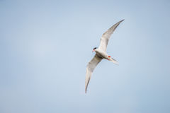 Artic tern Fotografia Royalty Free