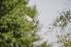 Artic tern Obraz Royalty Free