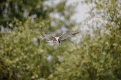 Artic tern Obrazy Royalty Free