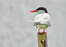 Arctic Tern Royalty Free Stock Photography