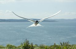 Artic Tern in flight. stock image