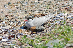 Artic Tern on nest. An Artic Tern sitting on eggs on its nest stock photo